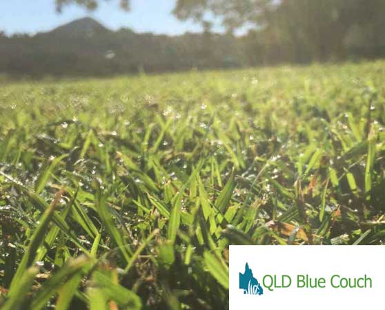 Qld blue turf sunshine coast