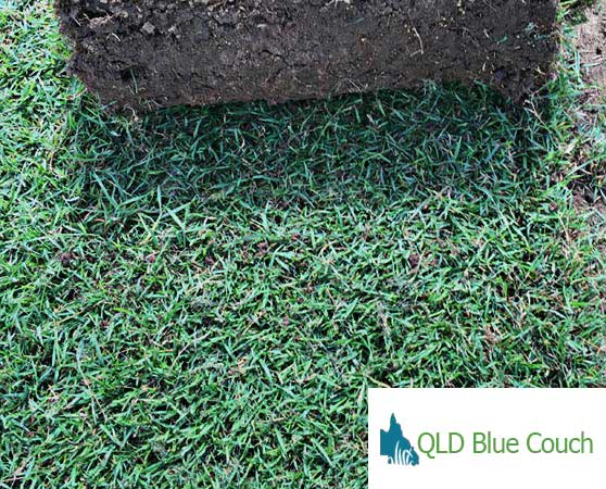 QLD blue couch turf