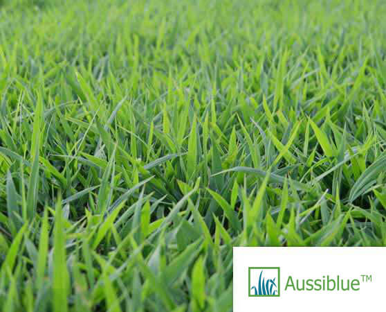Aussie blue turf sunshine coast