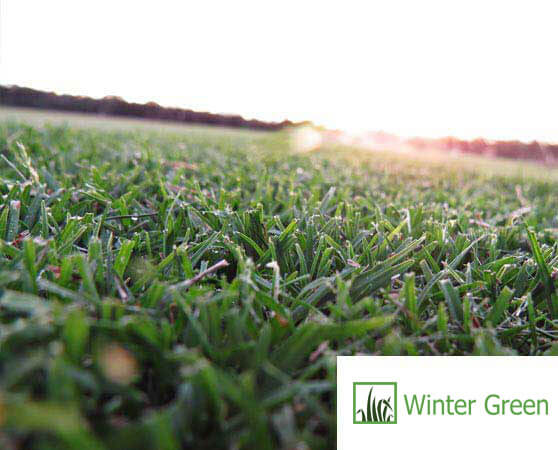 Wintergreen turf sunshine coast