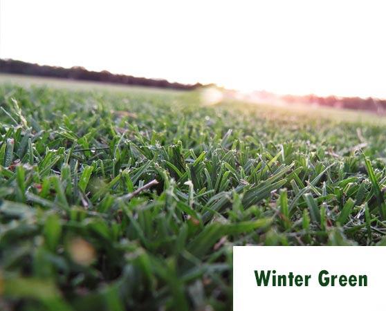 winter green turf