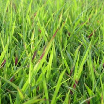 Nara Turf breeding