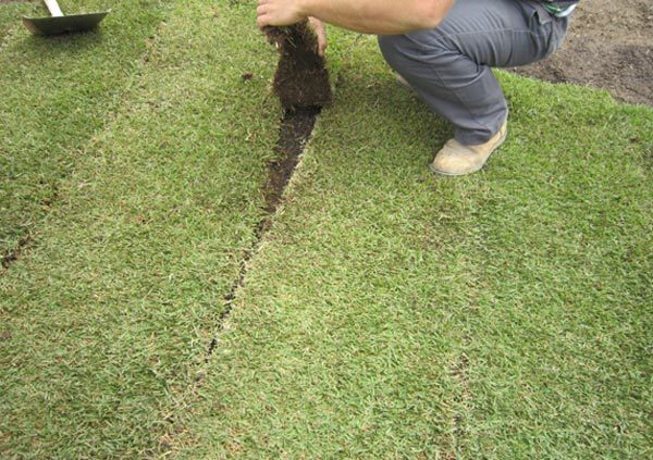 Nara turf breed